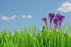 Schöner violetter Krokus Stockfoto