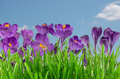 Schöner violetter Krokus unter blauem Himmel Stockbilder