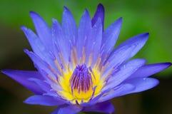 Schöner violetter Lotos Lizenzfreies Stockfoto