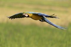Schöner Vogel, der über Naturbauernhof fliegt Stockfotografie