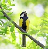 Schöner Vogel, der im Frühjahr Wald mit frischem grünem Baum herein singt Lizenzfreie Stockbilder