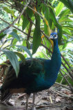 Schöner Vogel des Pfaus in einem grünen Baum Lizenzfreie Stockbilder