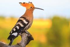 Schöner Vogel Hoopoe, der auf einer Niederlassung auf einem sonnigen Morgen sitzt Stockfotografie
