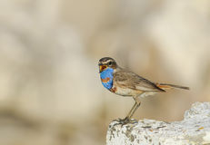 Schöner Vogel mit hellen blauen Federn steht auf einem Stein und einem s Lizenzfreies Stockbild
