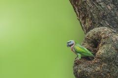 Schöner Vogel (rotbrüstiger Sittich) hockend vor Nest stockbild