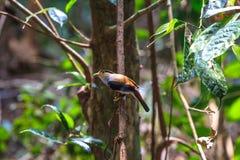 Schöner Vogel Silber-breasted Broadbill auf einer Niederlassung Stockbilder