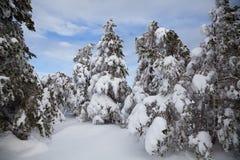 Schöner Wald des Winters Stockfoto
