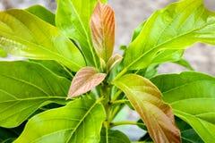 Schöner warmer Jahreszeitavocadobaum stockbild
