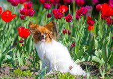 Schöner weiß-roter Hund und rote Tulpen Papillon, das in den hellen Farben sitzt Lizenzfreies Stockbild