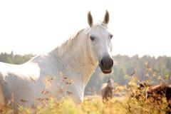 Schöner weißer arabischer Pferdeportrait im ländlichen Gebiet Stockfotografie