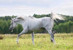 Schöner weißer arabischer Stallion Stockbilder