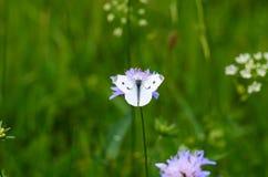 Schöner weißer brauner Schmetterling auf der lila Blume Stockfoto