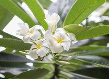 Schöner weißer Frangipani Fotos draußen Plumeria-Blumenstrauß stockbild