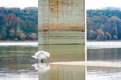 Schöner weißer Höckerschwan in der Natur, die seine Federn stehen im Wasser von der Donau mit seinem Kopf unter seinem Flügel w s lizenzfreie stockfotografie