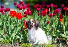 Schöner weißer Hund, der in den roten Tulpen sitzt Welpe im Blumenbeet Stockfotografie