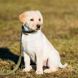 Schöner weißer Hunde-Labor-Labrador retriever-Welpe lizenzfreies stockfoto