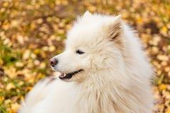 Schöner weißer Hunderassen Samoyed im Fall lizenzfreie stockfotografie