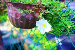 Schöner weißer Japaner Rose By The Gate lizenzfreies stockbild