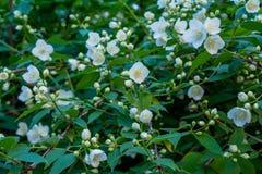 Schöner weißer Jasmin blüht auf dem Busch im Garten Lizenzfreie Stockfotos