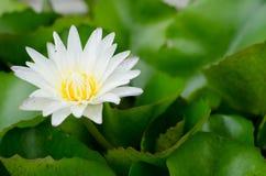 Schöner weißer Lotos Stockfoto