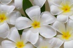 Schöner weißer Plumeria auf Wasser Stockbild