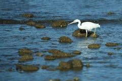 Schöner weißer Reiher nahe der komodo Insel in Indonesien stockfotos