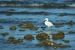 Schöner weißer Reiher nahe der komodo Insel in Indonesien stockbild