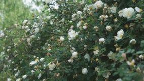 Schöner weißer Rosenbuschbusch draußen Nahaufnahme stock footage