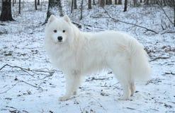 Schöner weißer Samoyedhund lizenzfreies stockfoto