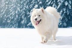 Schöner weißer Samoyedhund, der auf Schnee im Winter über schneebedecktem Waldhintergrund läuft Lizenzfreie Stockfotografie