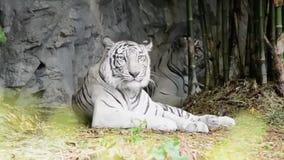 Schöner weißer Tiger stock footage
