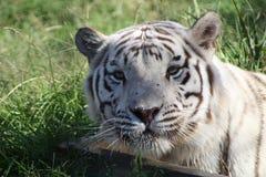 Schöner weißer Tiger stockfotos