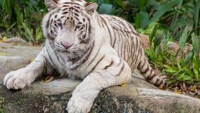Schöner weißer Tiger Portrait Lying Down 2 Stockbild
