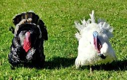 Schöner weißer und schwarzer Gobbler Porträt Der früheste Name für den Truthahn ist die 'türkischen Hühner ' lizenzfreie stockbilder