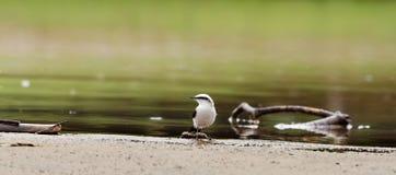 Schöner weißer Vogel auf Flussbank mit Wasser und einigen Niederlassungen herum Lizenzfreie Stockfotos
