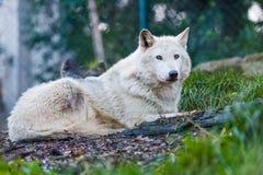 Schöner weißer Wolf lizenzfreies stockfoto