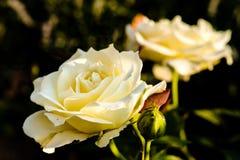 Schöner Weißrosenabschluß herauf Detail Lizenzfreie Stockfotografie