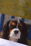 Schöner weiblicher unbekümmerter Kopf Königs Charles Spaniel mit entzückenden Augen, Nase und den Ohren Lizenzfreies Stockfoto