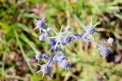 Schöner Weichzeichnungsblumenhintergrund Schließen Sie oben von der dekorativen blauen stacheligen Blume im Garten Stockbilder