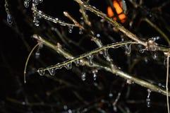 Schöner Weihnachtsbaumast mit gefrorenen Wassertropfen stockfoto