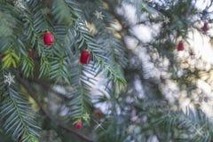 Schöner Weihnachtshintergrund der Lichterkette, Weihnachtsbaumaste mit roten Beeren Lizenzfreies Stockfoto