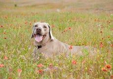 Schöner Weimaraner Hund in den wilden Blumen Stockfotos