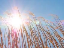 Schöner Weizen hintergrundbeleuchtet bis zum einem majestätischen Sun lizenzfreies stockbild