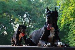 Schöner Welpe der Deutschen Dogge und Stockbilder