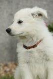 Schöner Welpe des weißen Schweizer Schäfers Dog Lizenzfreie Stockfotografie