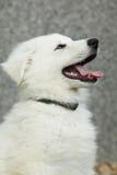 Schöner Welpe des weißen Schweizer Schäfers Dog Stockfotos
