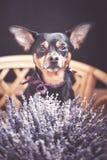 Schöner Welpe mit einem Blumenstrauß des Lavendels, die Kamera betrachtend, das Thema von romantischem stockbild