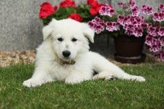 Schöner Welpe weißen Schweizer Schäfer-Dog-Lügens Stockfotografie