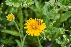 Sch?ner wilder Fr?hling gelbes Sneezweed-Helenium amarum mit Honigbiene und gr?nem Hintergrund stockfotografie