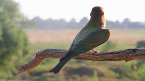 Schöner wilder Vogel, der auf einer Niederlassung sitzt stock video